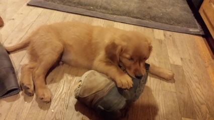 <h5>One of Watson&#039;s Favorite Toys</h5><p>... our shoes.</p>
