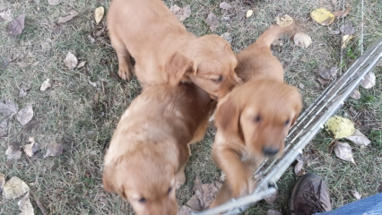 <h5>Watson Plays With His Sisters</h5><p>Watson enjoys the baby-dog play pen with his sisters.</p>