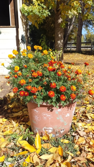 <h5>Marigolds for Beauty, Bugs</h5><p>We planted heritage marigolds in pots by the barn. I&#039;ve heard that marigolds help repel bugs.</p>