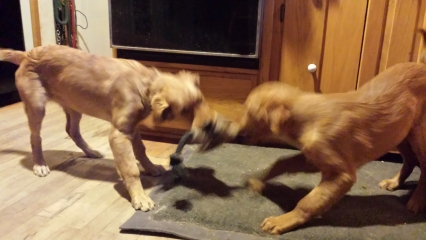 <h5>Watson and Zelda Play &#039;Tug&#039;</h5><p>We were worried that the other dogs would dominate Watson. He won this game. In everyday life, he jostles and competes for treats and attention completely on par with our other dogs.</p>
