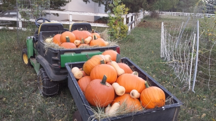 <h5>Great Pumpkin</h5><p>Our 2015 pumpkin harvest was extraordinary. We used the Tom Fox seeds from Johnnyseeds.</p>