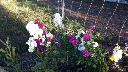 <h5>Snapdragons</h5><p>These snapdragons added a little color to the 2015 pumpkin patch.</p>